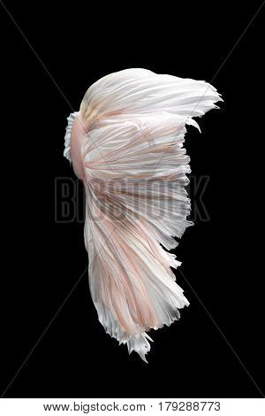 Abstract fine art fish tail of Betta fish or Siamese fighting fish isolated on black background.