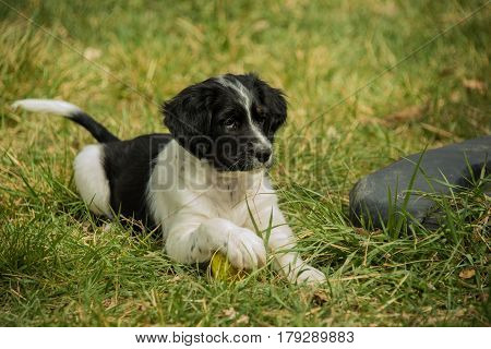 Australian Shepherd puppy playing with toy ball on green grass lawn