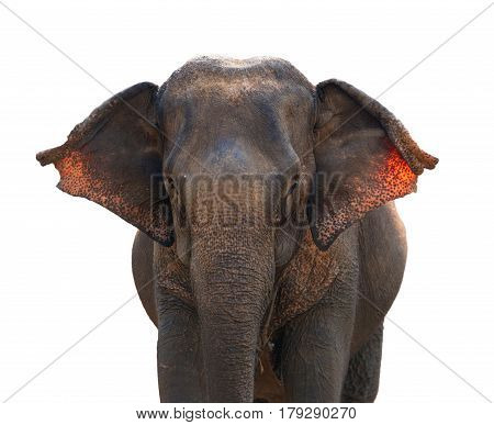 Young Asian elephant isolated on white background