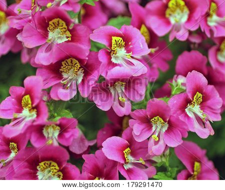 Closeup of a Profusion of Pink Flowers