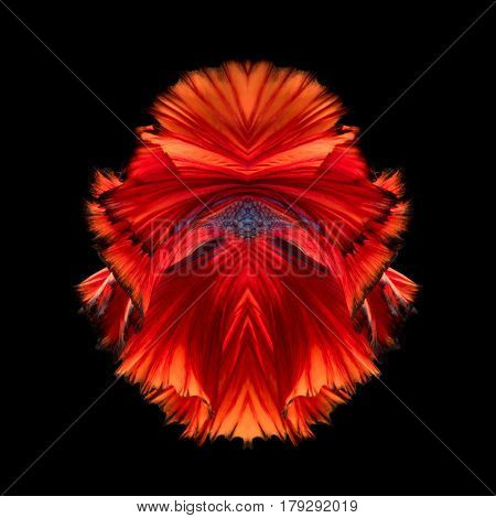 Abstract Fine Art Fish Tail Free Form Of Betta Fish Or Siamese Fighting Fish Isolated On Black Backg