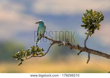 European Roller On A Branch On Cyprus Countryside