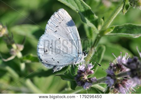 The holly blue (Celastrina argiolus) is a butterfly that belongs to the Lycaenids or blues family and is native to Eurasia and North America