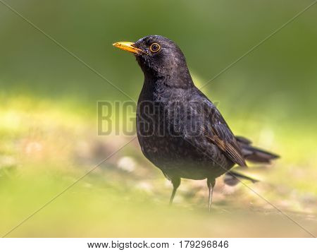 Male Blackbird Foraging In Green Backyard