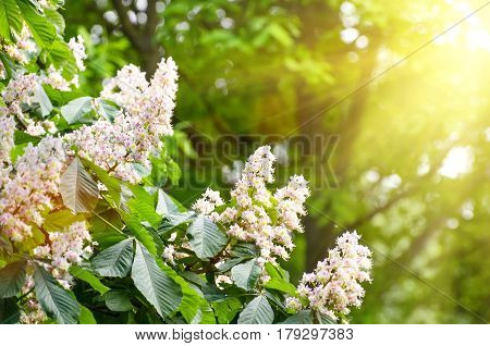 Flowers Of Chestnut Trees In Spring In The Park