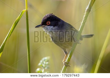 Sardinian Warbler With Red Eye Perched On Grass Stem