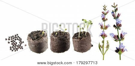 Stages of growth of plant from seed to flowering plant. Life cycle of Common sage (Salvia officinalis)