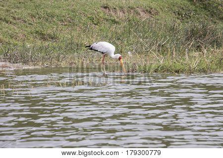 Yellow Billed Stork On Banks Of Kazinga Channel, Queen Elizabeth National Park, Uganda