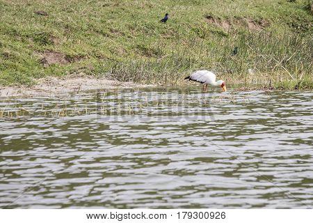 Yellow Billed Stork, Kazinga Channel, Queen Elizabeth National Park, Uganda