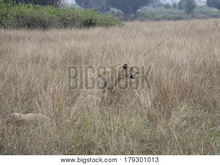 Profile Of Lioness Sitting Queen Elizabeth National Park, Uganda