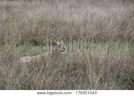 Profile Of Lioness Hiding Queen Elizabeth National Park, Uganda