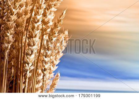 Sheaf Of Wheat On The Blue Sky