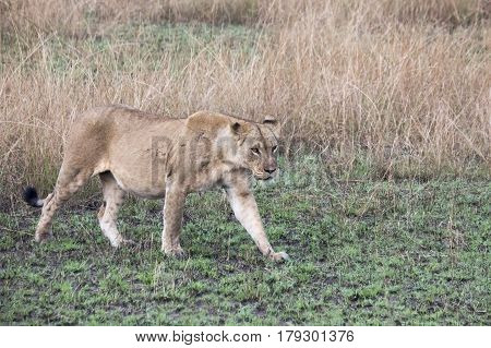 Lioness Walking In Grasses In Queen Elizabeth National Park, Uganda