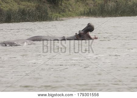 Hippo In Kanzinga Channel In Queen Elizabeth National Park, Uganda