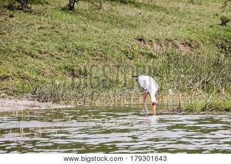 Feeding Yellow Billed Stork, Kazinga Channel, Queen Elizabeth National Park, Uganda