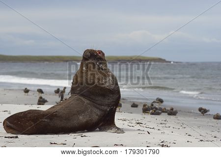 Large male Southern Sea Lion (Otaria flavescens) resting on a sandy beach on the coast of Sealion Island in the Falkland Islands.