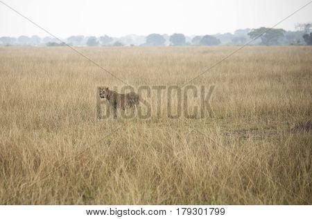 Adult Lioness Standing In Tall Grasses In Queen Elizabeth National Park, Uganda
