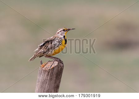 Western Meadowlark in breeding color sitting on a fence post in rural Colorado.