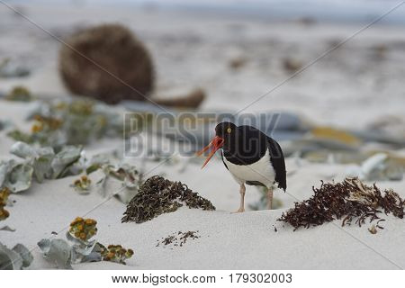 Magellanic Oystercatchers (Haematopus leucopodus) resting amongst Sea Cabbage plants (Senecio candidans) on a sandy beach on Sealion Island on the Falkland Islands.