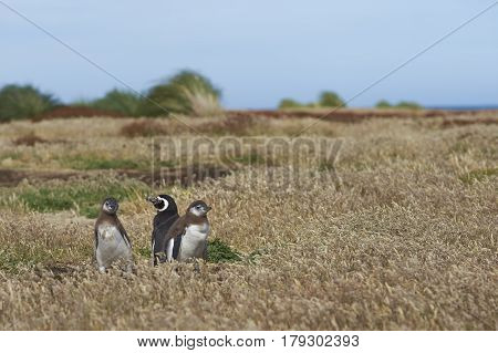 Adult Magellanic Penguin (Spheniscus magellanicus) with two nearly fully grown chicks next to its burrow in a grassy meadow on Sealion Island in the Falkland Islands.