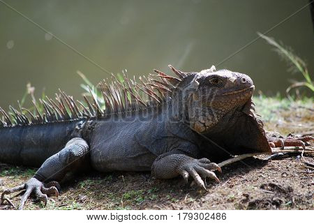 Gray iguana warming in the sunshine beside a body of water.