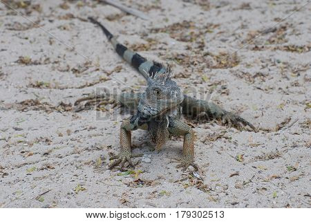 Iguana sitting on a sand beach with a striped tail.