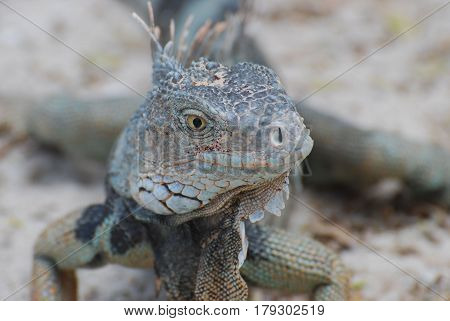 Fantastic face of an iguana with spines on his back posing.