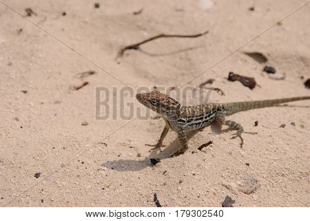 Adorable small brown lizard sitting on a white sand beach.