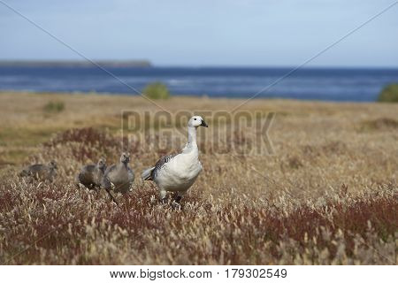 Male Upland Goose (Chloephaga picta leucoptera) with juvenile goslings walking through a grassy meadow on Sealion Island in the Falkland Islands.