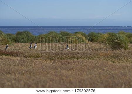 Magellanic Penguins (Spheniscus magellanicus) walking through a grassy meadow on Sealion Island in the Falkland Islands.