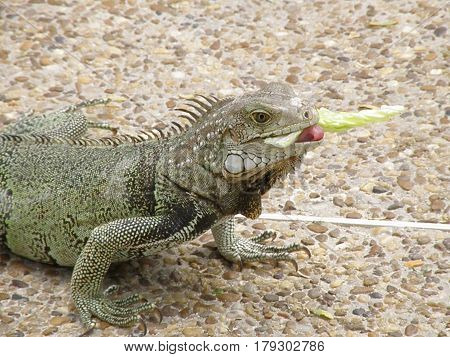 Pink tongue of an iguana sticking out as he eats lettuce.
