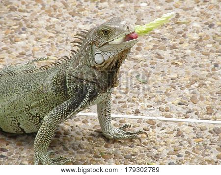 Iguana eating a snack of lettuce on a walk way.