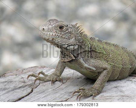 Gorgeous amazing gray iguana perched on a fallen log.