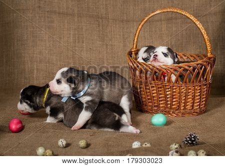Puppies of Siberian Husky playing among the Easter eggs. Two puppies are sitting in the basket.