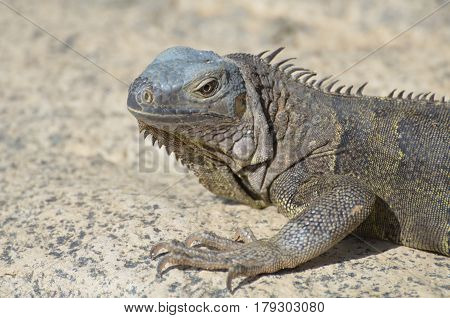 Gray iguana with very long talons along it's feet.