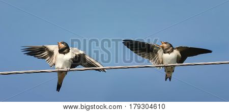 two Chicks swallows sitting on the wires waiting for the parents and flap their wings