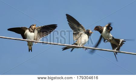 a swallow flew in to feed their Chicks sitting on the wires