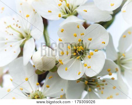 white flowers blossom tree branch in spring garden