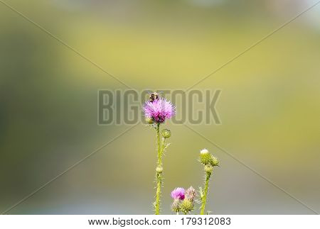 little bee collects nectar from pink Thistle flower on the meadow