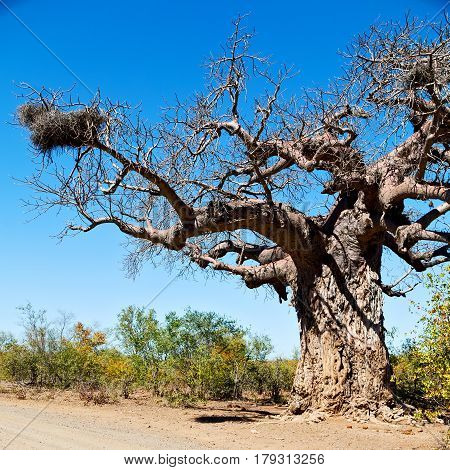 In South Africa   Street And Baobab
