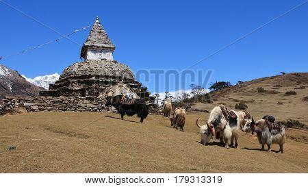 Scene near Namche Bazar Everest National Park. Yak herd and stupa.