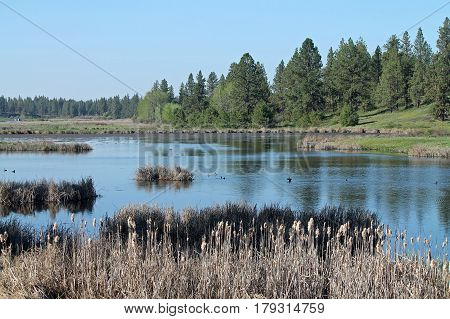 Wetland Scene with Pine Trees and Cattails Bordering a Pond