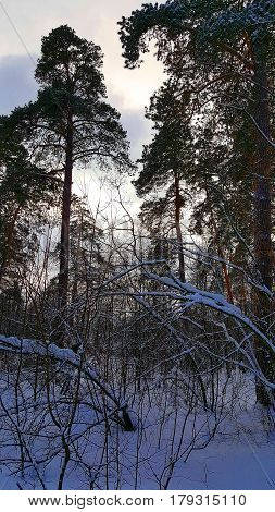 The winter forest in cloudy day after snowfall