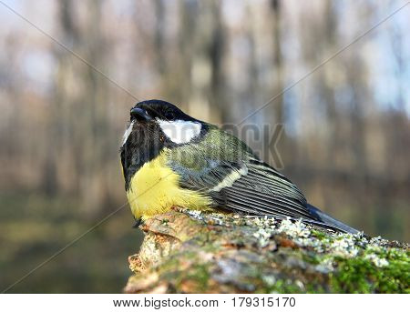 The titmouse sits on a mossy tree