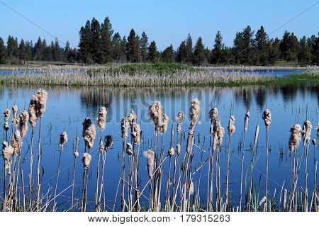 Cattails at the Water's Edge with Pine Trees in the Background