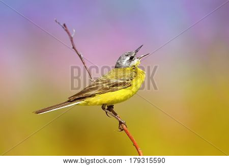 summer bird is the yellow Wagtail sings while sitting on a Sunny bright meadow