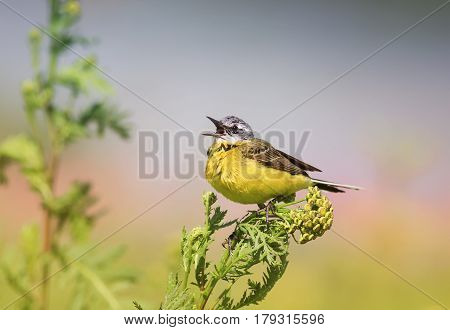 bird yellow Wagtail sitting on a meadow and leaping colors sings a song in summer