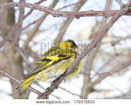 The siskin sits on a branch against the background of faded leaves