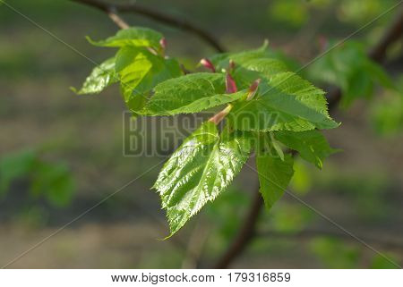 Spring young lime leaves with a buds