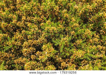Ulex Europaeus (gorse, Common Gorse, Furze Or Whin). Macro.